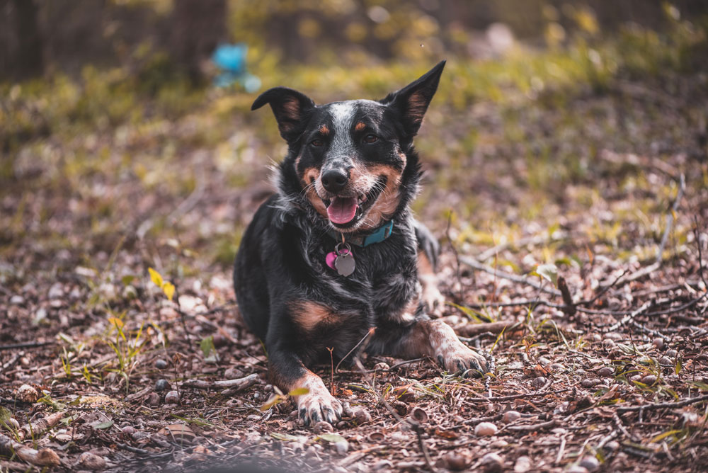 Dog-picture-adopets-blog-post-4-Matchmaking-Considerations-to-Increase-Successful-Remote-Adoptions